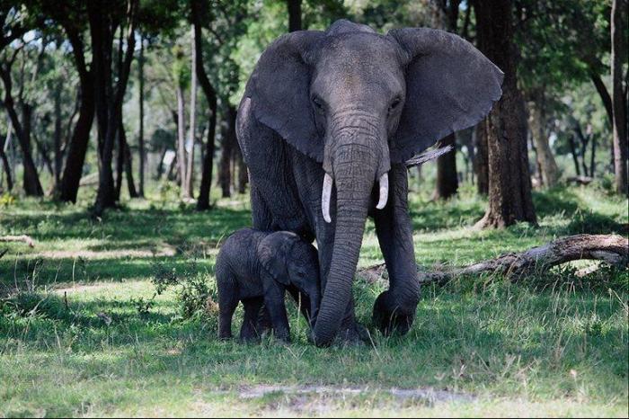 AfricanElephants-Mom_n_baby-Walking_in_forest
